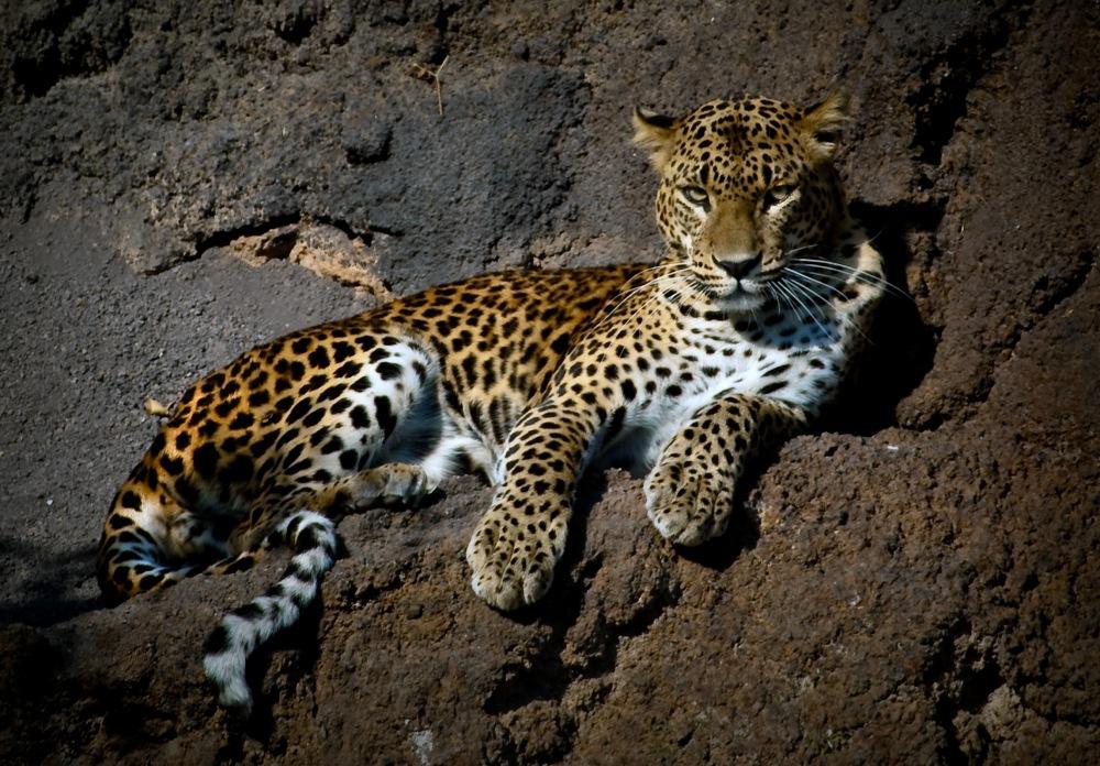 photoblog image Leopardo